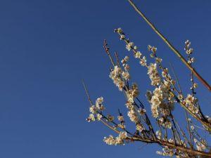 梅の花(画像)