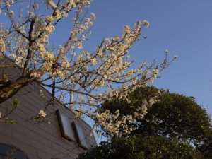 今年の梅の花(画像)